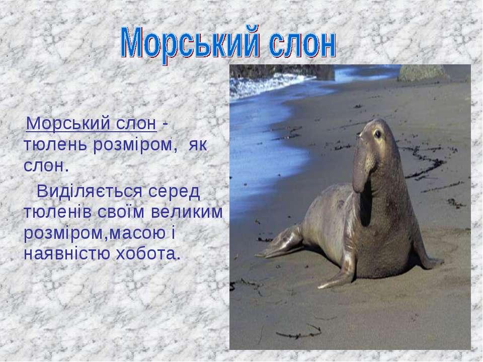 Морський слон - тюлень розміром, як слон. Виділяється серед тюленів своїм вел...