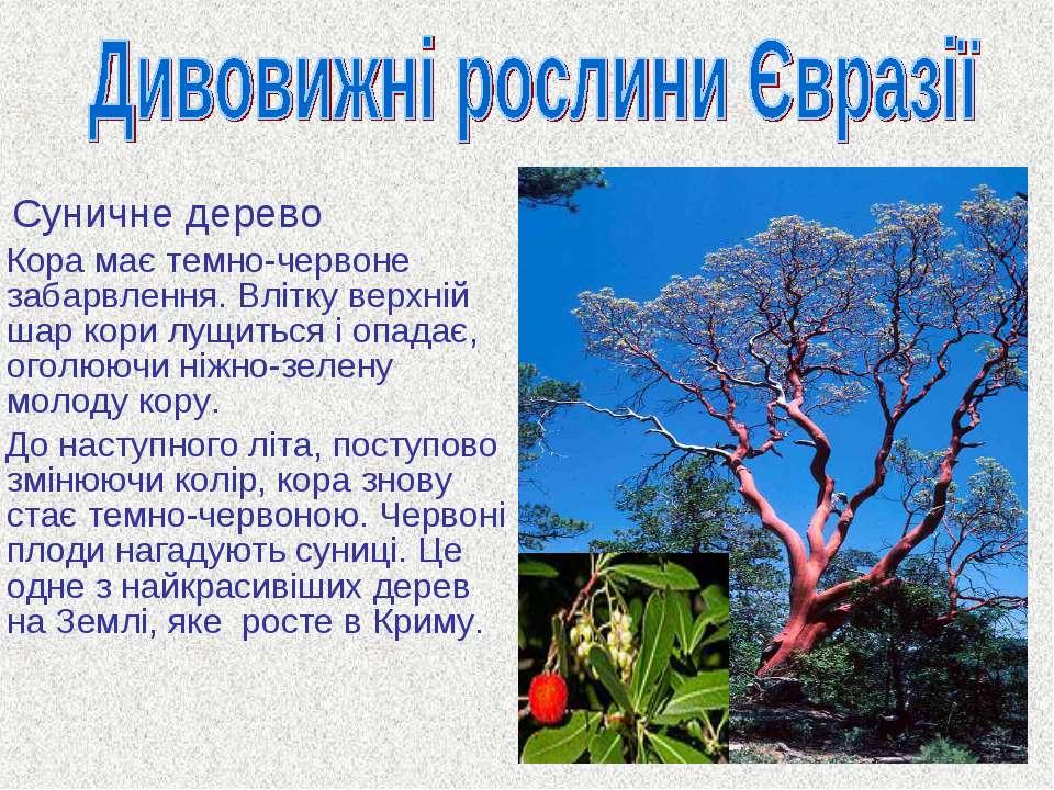 Суничне дерево Кора має темно-червоне забарвлення. Влітку верхній шар кори лу...