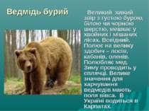 Ведмідь бурий Великий хижий звір з густою бурою, білою чи чорною шерстю, мешк...