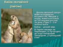 Бабак звичайний (байбак) Досить великий гризун живе на відкритих місцевостях....