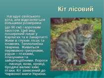 Кіт лісовий Нагадує свійського кота, але відрізняється більшими розмірами (до...