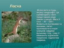 Ласка Може жити в будь - якому ландшафті. Це найменший у світі представник ря...