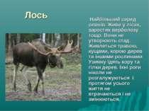 Лось Найбільший серед оленів. Живе у лісах, заростях верболозу тощо. Вони не ...