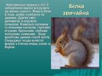 Білка звичайна Найспритніша тварина у лісі. ЇЇ забарвлення варіює від рудого ...