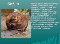 Бобер Водний гризун з перетинчастими лапами, широким плоским хвостом і густим...