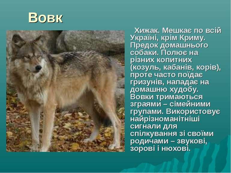 Вовк Хижак. Мешкає по всій Україні, крім Криму. Предок домашнього собаки. Пол...