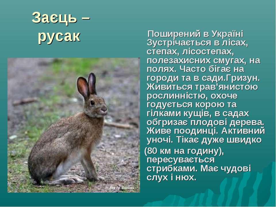 Заєць – русак Поширений в Україні Зустрічається в лісах, степах, лісостепах, ...