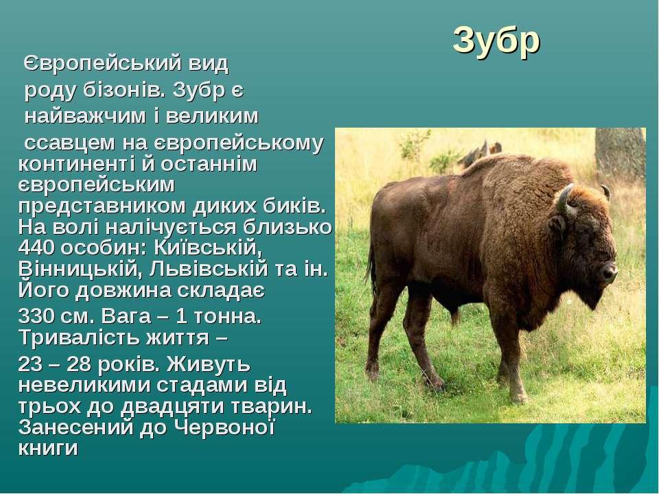 Зубр Європейський вид роду бізонів. Зубр є найважчим і великим ссавцем на євр...