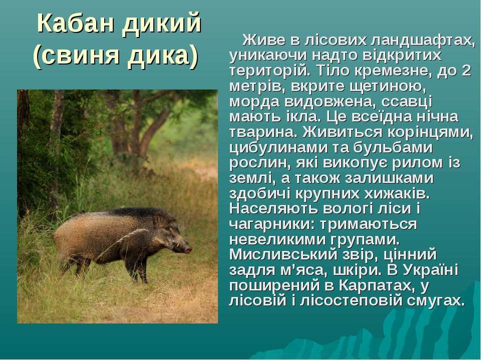 Кабан дикий (свиня дика) Живе в лісових ландшафтах, уникаючи надто відкритих ...