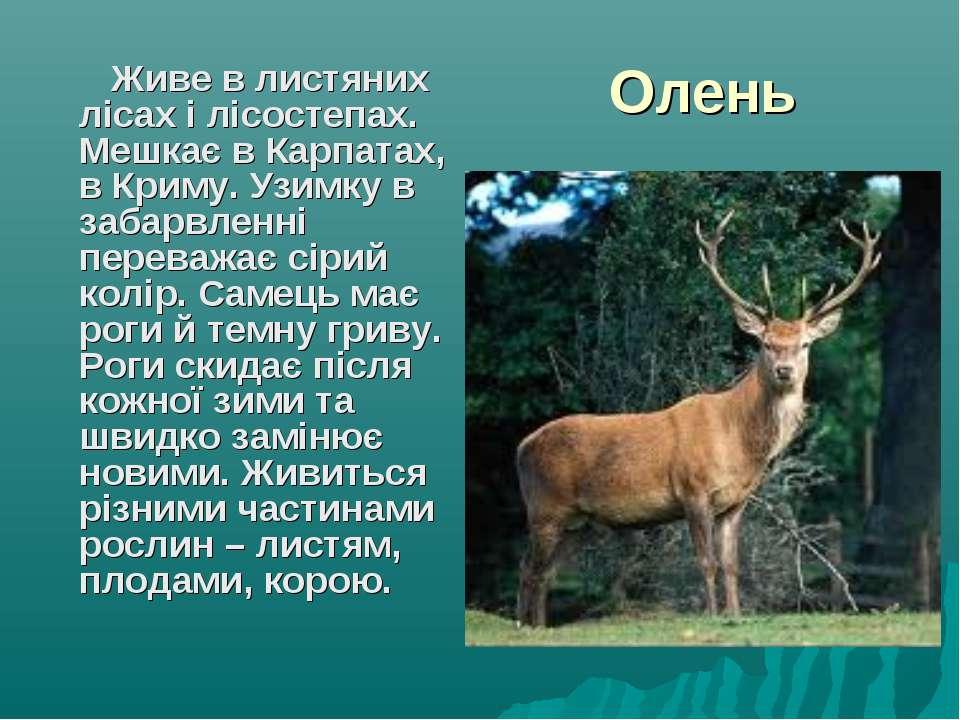 Олень Живе в листяних лісах і лісостепах. Мешкає в Карпатах, в Криму. Узимку ...