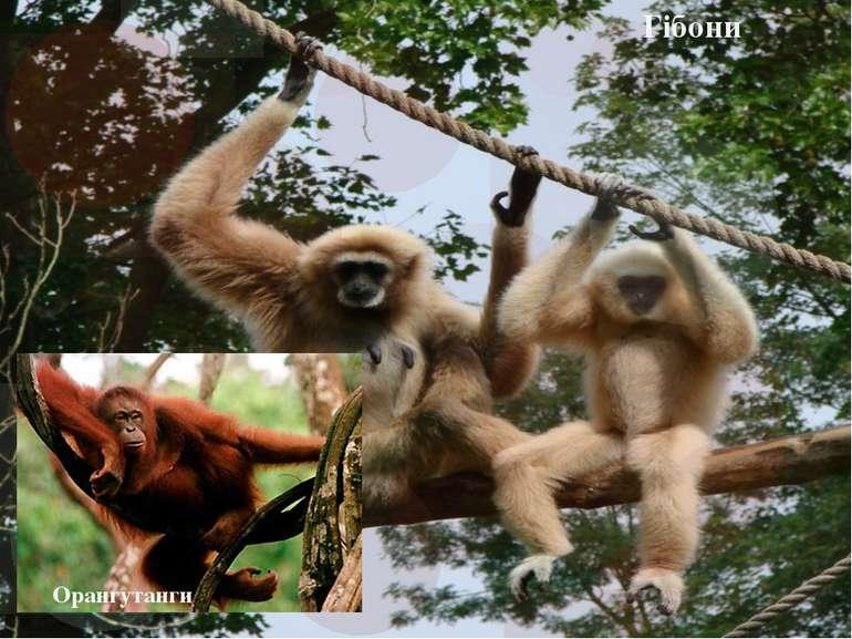 Гібони Орангутанги