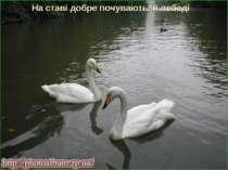 На ставі добре почуваються лебеді