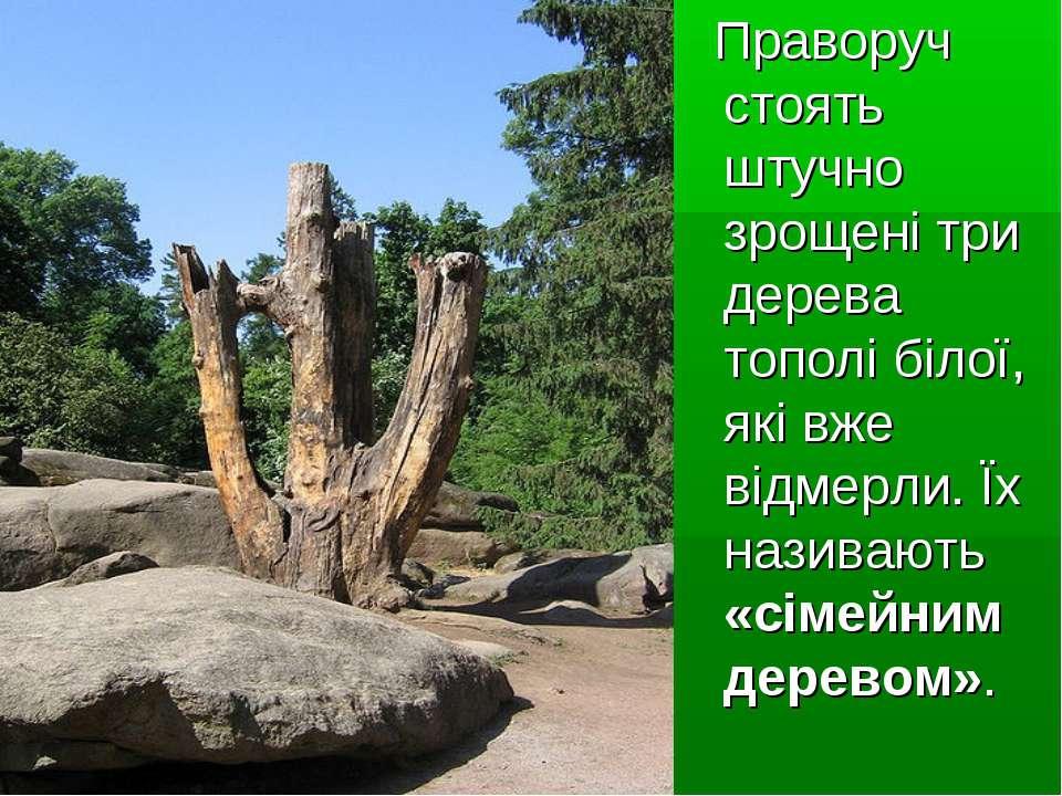 Праворуч стоять штучно зрощені три дерева тополі білої, які вже відмерли. Їх ...