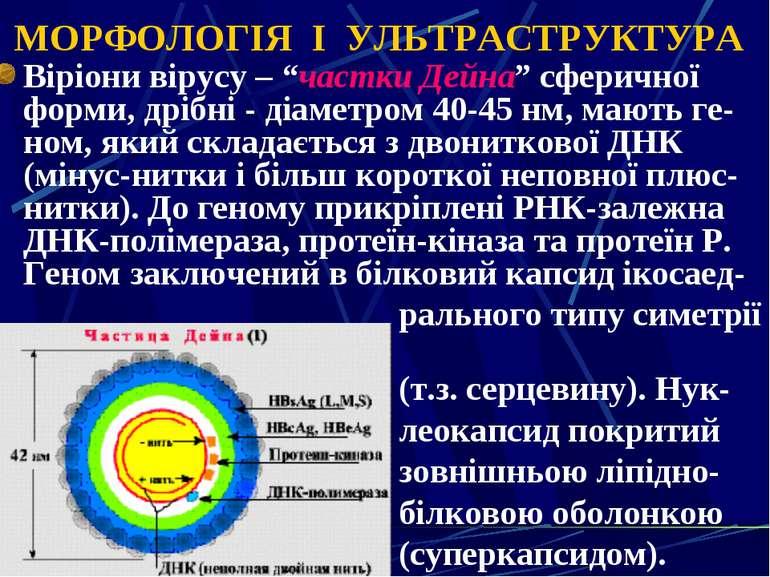 """МОРФОЛОГІЯ І УЛЬТРАСТРУКТУРА Віріони вірусу – """"частки Дейна"""" сферичної форми,..."""