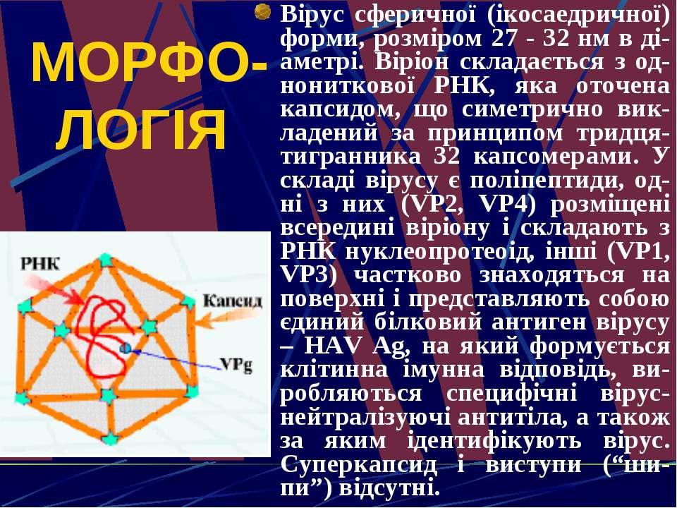 МОРФО-ЛОГІЯ Вірус сферичної (ікосаедричної) форми, розміром 27 - 32 нм в ді-а...