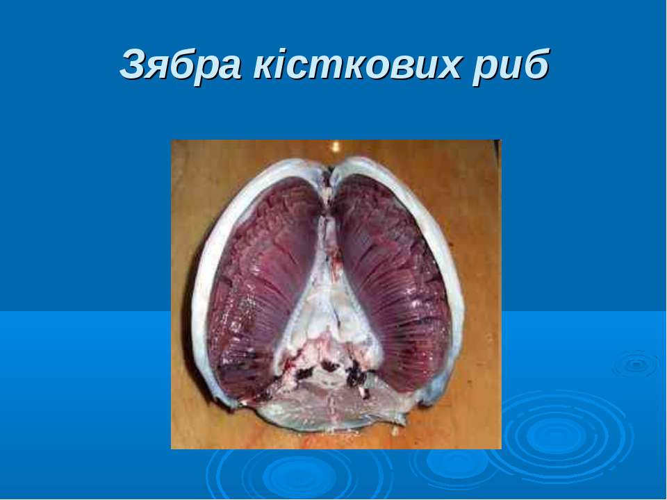 Зябра кісткових риб