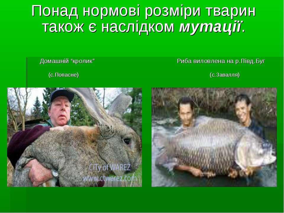 """Понад нормові розміри тварин також є наслідком мутації. Домашній """"кролик"""" Риб..."""