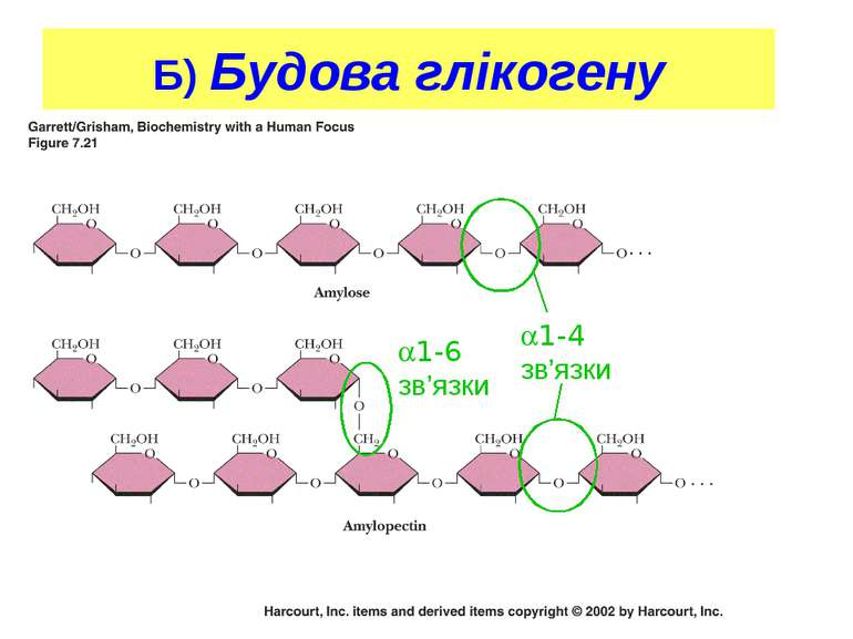 Christopher Francklyn Biochem 206- '02 Б) Будова глікогену