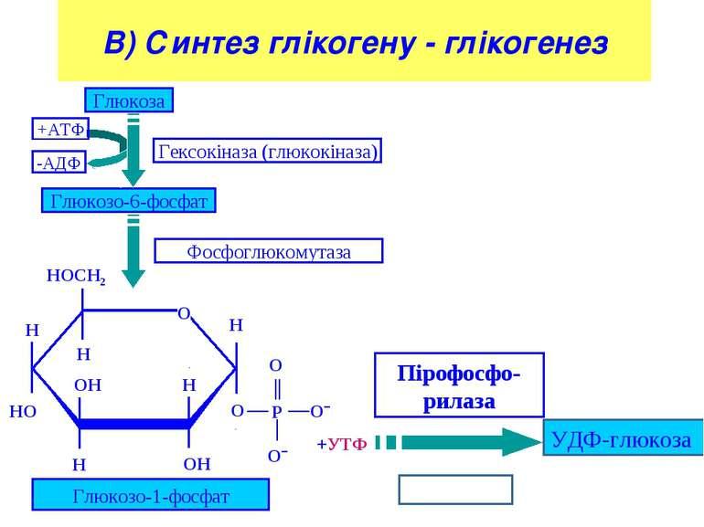 В) Синтез глікогену - глікогенез Глюкоза УДФ-глюкоза