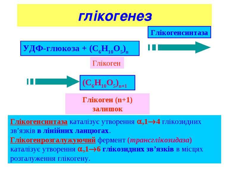 * глікогенез Глікогенсинтаза каталізує утворення ,1 4 глікозидних зв'язків в ...