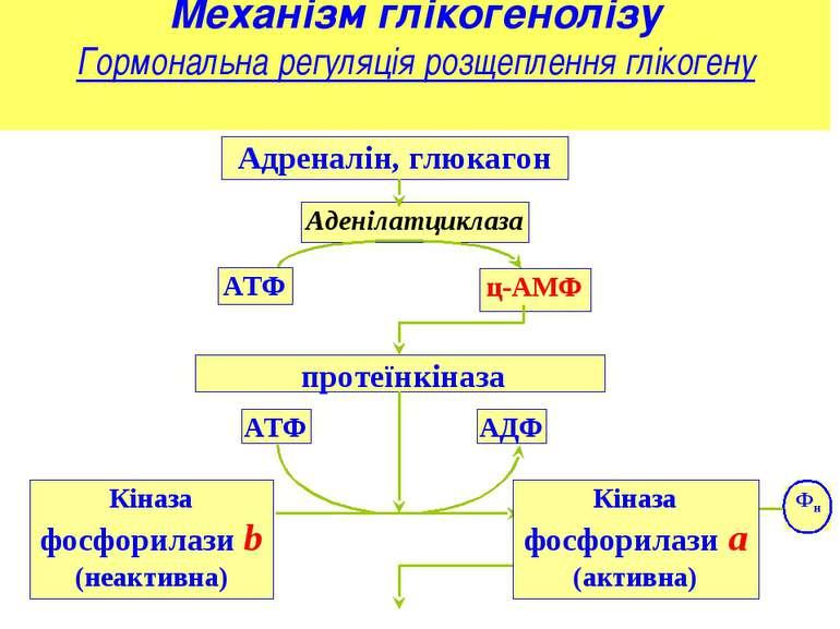 Механізм глікогенолізу Гормональна регуляція розщеплення глікогену Адреналін,...