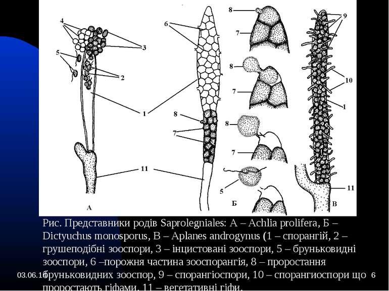 * * Рис. Представники родів Saprolegniales: А – Achlia prolifera, Б – Dictyuc...