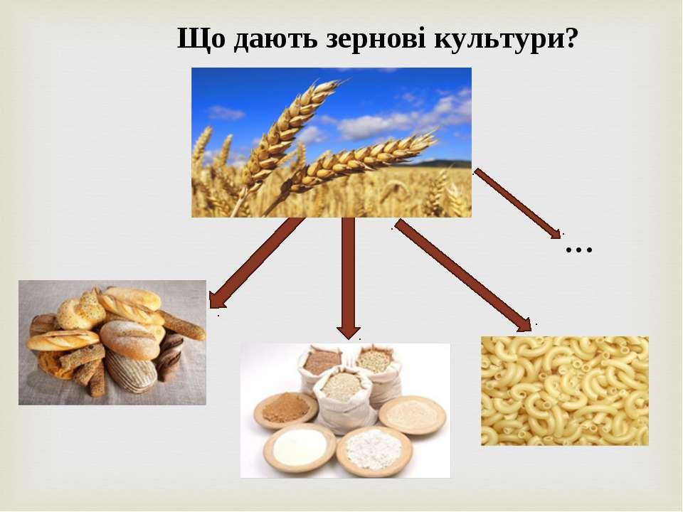 Що дають зернові культури? …