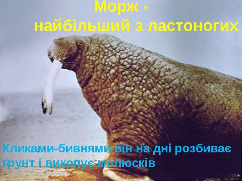 Морж - найбільший з ластоногих Кликами-бивнями він на дні розбиває ґрунт і ви...