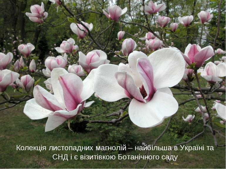 Колекція листопадних магнолій – найбільша в Україні та СНД і є візитівкою Бот...