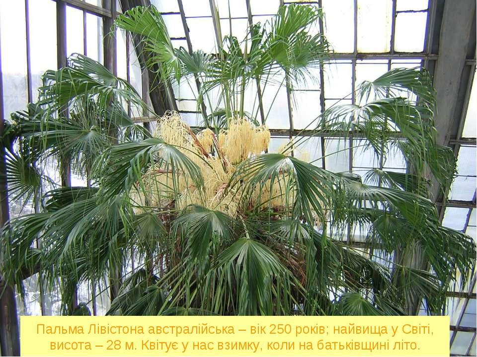 Пальма Лівістона австралійська – вік 250 років; найвища у Світі, висота – 28 ...