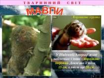 Т В А Р И Н Н И Й С В І Т 2 У Південній Америці живе найменша з мавп – карлик...