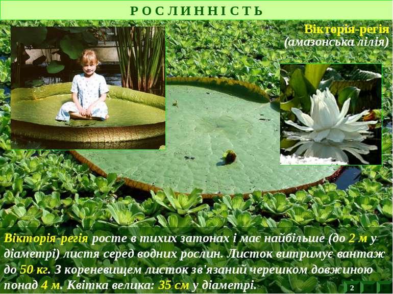 Вікторія-регія росте в тихих затонах і має найбільше (до 2 м у діаметрі) лист...