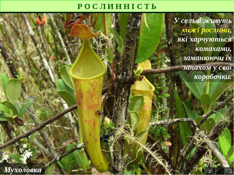 Р О С Л И Н Н І С Т Ь Мухоловка У сельві живуть хижі рослини, які харчуються ...