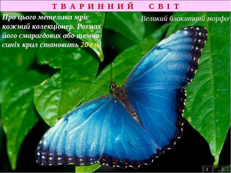 Т В А Р И Н Н И Й С В І Т Про цього метелика мріє кожний колекціонер. Розмах ...