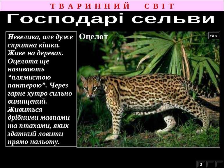 """Невелика, але дуже спритна кішка. Живе на деревах. Оцелота ще називають """"плям..."""