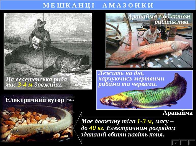 Арапайма Лежить на дні, харчуючись мертвими рибами та червами. М Е Ш К А Н Ц ...