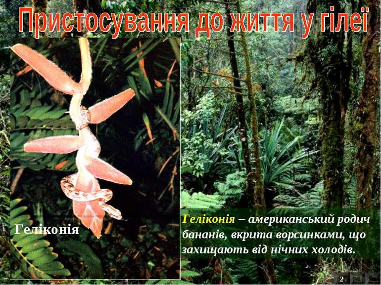 Геліконія – американський родич бананів, вкрита ворсинками, що захищають від ...