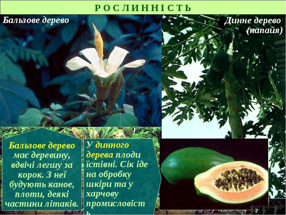 Бальзове дерево Динне дерево (папайя) Бальзове дерево має деревину, вдвічі ле...