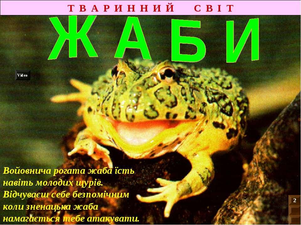 Яскраве забарвлення цієї жаби попереджує хижаків про її отруйність. Індіанці ...