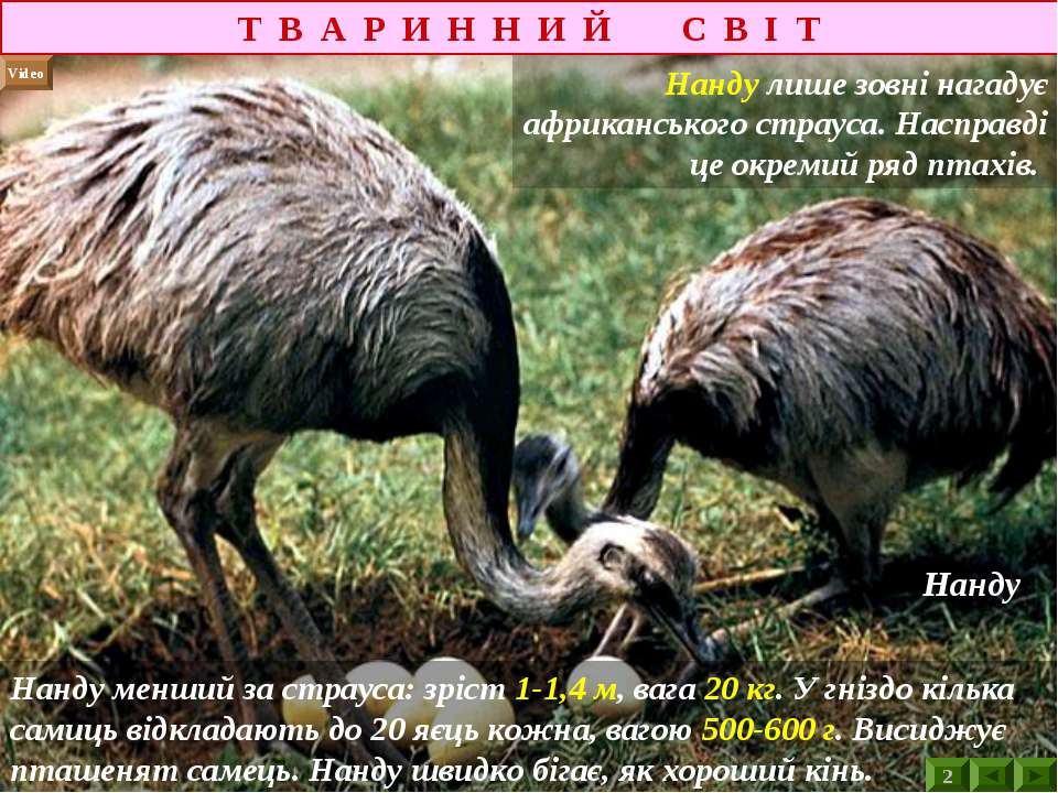 Т В А Р И Н Н И Й С В І Т Video Нанду лише зовні нагадує африканського страус...