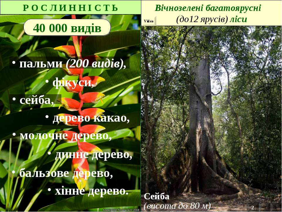 Р О С Л И Н Н І С Т Ь 40 000 видів дерево какао, динне дерево, бальзове дерев...