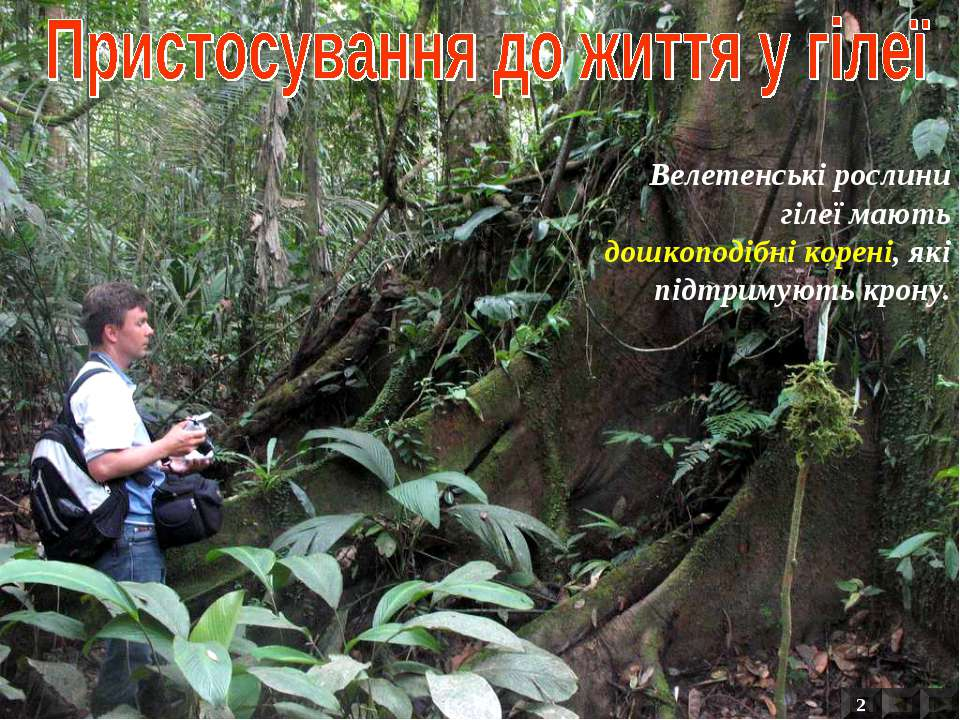 Велетенські рослини гілеї мають дошкоподібні корені, які підтримують крону. 2