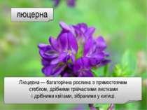 люцерна Люцерна — багаторічна рослина з прямостоячим стеблом, дрібними трійча...
