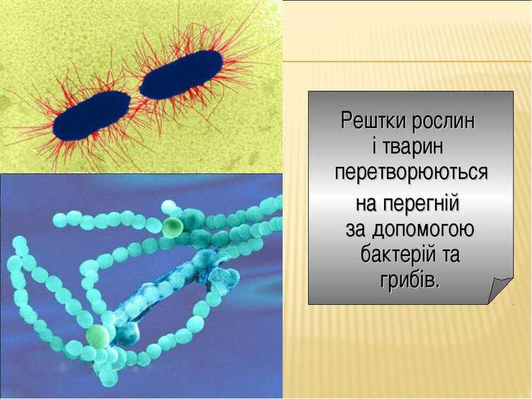 Рештки рослин і тварин перетворюються на перегній за допомогою бактерій та гр...