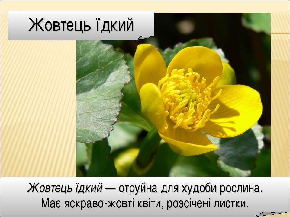 Жовтець їдкий Жовтець їдкий — отруйна для худоби рослина. Має яскраво-жовті к...