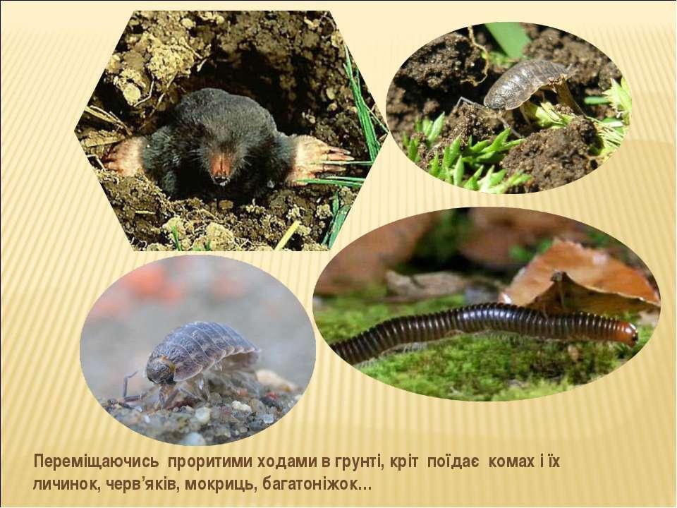 Переміщаючись проритими ходами в грунті, кріт поїдає комах і їх личинок, черв...