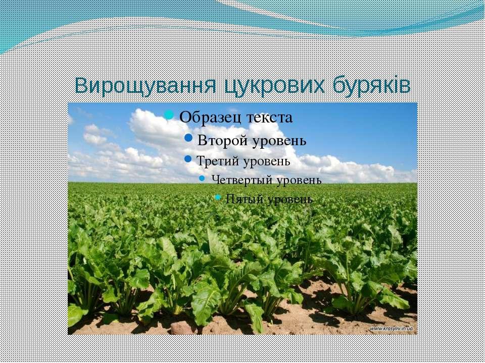 Вирощування цукрових буряків