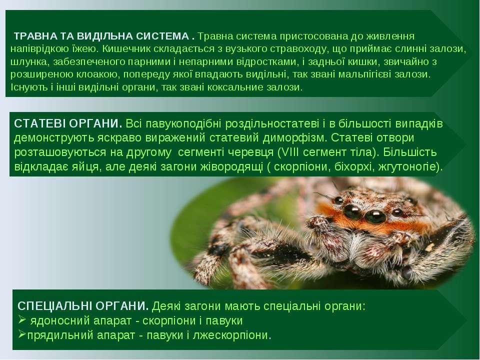 СТАТЕВІ ОРГАНИ. Всі павукоподібні роздільностатеві і в більшості випадків дем...