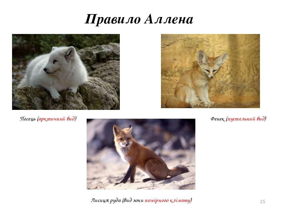 Правило Аллена Песець (арктичний вид) Лисиця руда (вид зони помірного клімату...