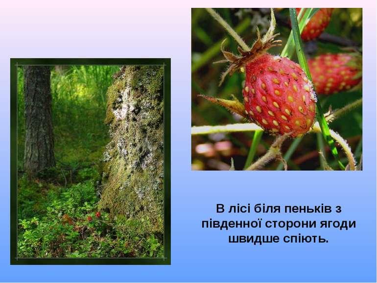 В лісі біля пеньків з південної сторони ягоди швидше спіють.